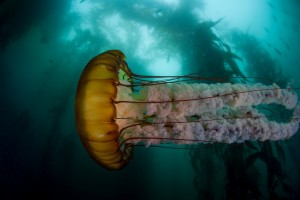 Fotolia_100843726_S.jpg SEA NETTLE SWIMING SIDEWAYS