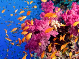 Fotolia_10267735_S.jpg PINK CORALS ORANGE FISH