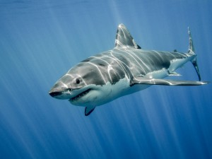 Fotolia_103878807_S.jpg Shark_Great White with Sunrays