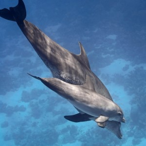 Fotolia_103906368_M.jpg Dolphin mom and baby