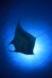 Fotolia_111972175_S.jpg MANTA RAY UNDERNEATH
