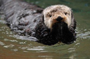 Fotolia_19483639_S.jpg SEA OTTER PRAYING