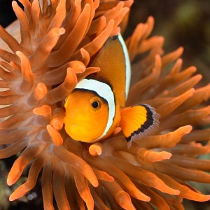 Fotolia_51599626_M.jpg ORANGE CLOWNFISH WITH ANEMONE