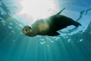 Fotolia_58000900_S.jpg SEAL WITH SUN RAYS
