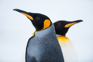 Fotolia_59571327_S.jpg KING PENGUINS