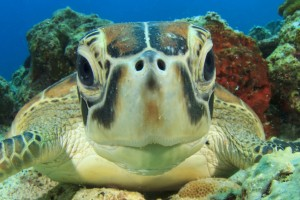 Fotolia_64349981_S.jpg SEA TURTLE FACE CLOSEUP