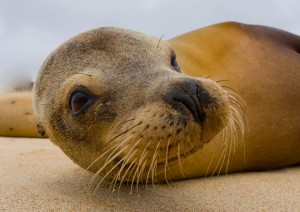Fotolia_94401884_S.jpg SEALION FACE WHISKERS CLOSEUP