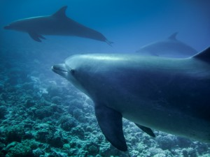Fotolia_96286418_S.jpg  DOLPHINS WITH CORAL